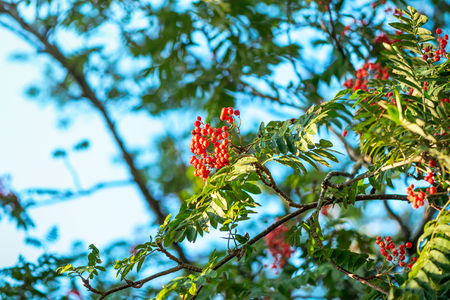 sorbus aucuparia: Ripe rowan fruits on the tree with blue sky background, Sorbus aucuparia  Stock Photo