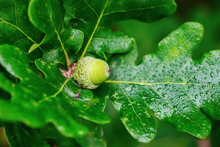 Oak branch with green acorn, closeup in Sweden  photo
