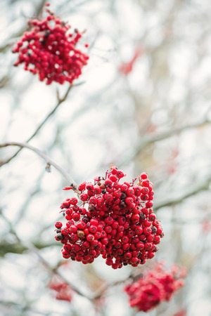 european rowan: Rowan berry, some clusters of berries on a tree during autumn also known as ashberries