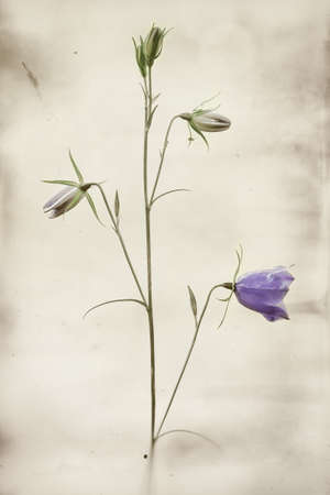 Plant of bluebell or bellflower isolated in nature with instagram filter applied photo