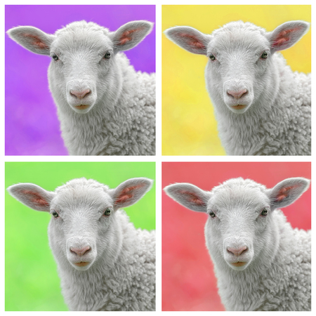 the lamb: Lamb in colorful popart style, four lamfaces in a square