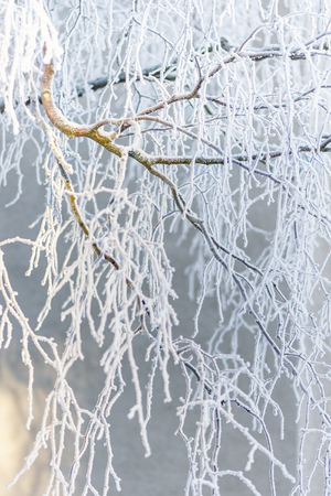 frostbitten: Frostbitten Birch branch during a cold winter day Stock Photo
