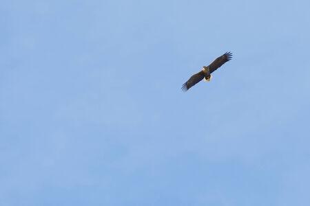 sea eagle: Sea eagle (Haliaeetus albicilla) on blue sky with wings spread, space for text