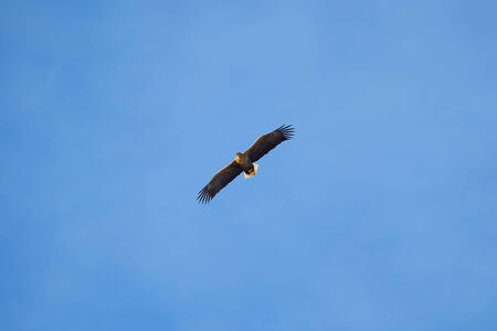 sea eagle: Sea eagle (Haliaeetus albicilla) on blue sky with wings spread in yellow sunlight, space for text