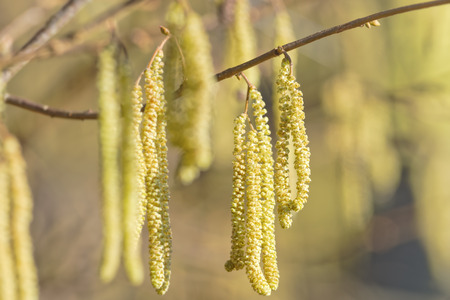 corylus: Hazel catkins - Corylus avellana in early spring in sunlight and closeup, highly allergenic pollen