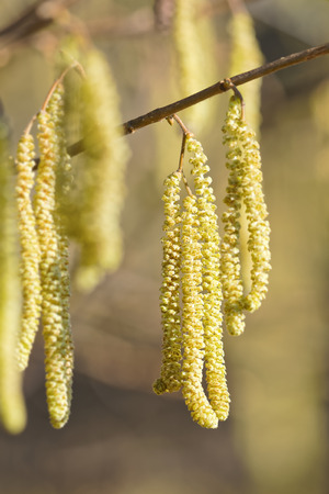 Hazel catkins - Corylus avellana in early spring in sunlight and closeup, highly allergenic pollen photo