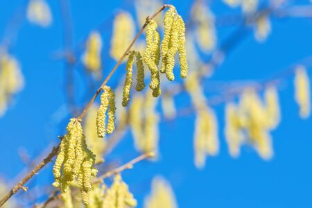 Twig of a flourishing hazel bush during spring with clear blue sky, highly allergenic plant photo