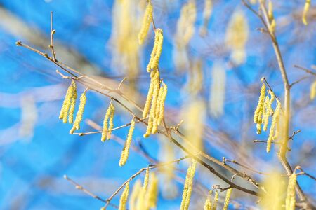 corylus: Twigs of a flourishing hazel bush during spring with clear blue sky, highly allergenic plants