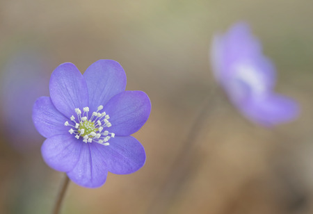 Hepatica nobilis during spring - Common Hepatica, Anemone hepatica photo