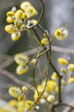 salix: Goat Willows or Salix caprea during spring, Sweden