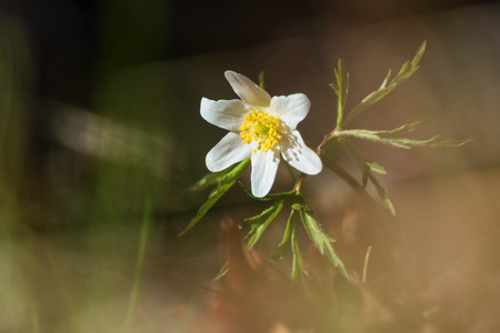 windflower: Wood anemone in white or Windflower in evening during spring, Sweden Stock Photo