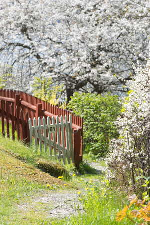 Beautiful lush garden during spring with white cherry trees, Sweden
