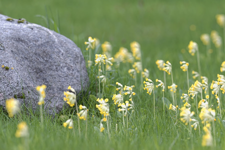 primula veris: Cluster of Primula veris or Cowslip with a grey stone at a lawn, Sweden