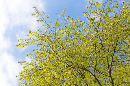 Background with green spring birch branches and blue sky Stock Photo