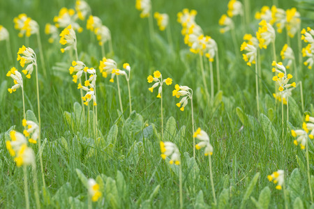 primula veris: Field of yellow Cowslip flowers or Primula veris, Sweden