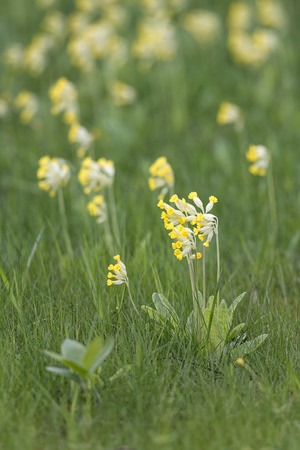 primula veris: Cowslip or Primula veris at grass lawn, Sweden