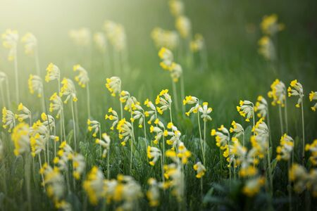 primula veris: Cowslip or Primula veris flowers in mass at a grass field, Sweden