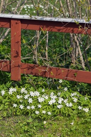 White spring flowers growing along a red fence in traditional garden, Sweden photo
