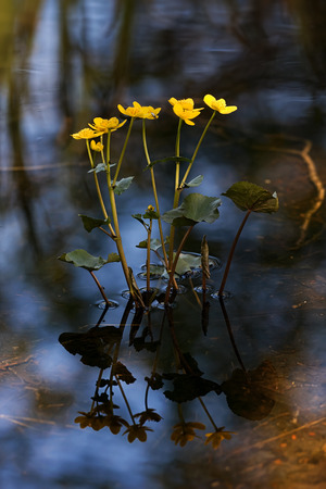 inundated: Caltha palustris or Kingcup in still water during spring with reflections, Sweden Stock Photo
