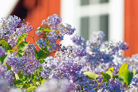 syringa: Common lilac or Syringa vulgaris with a red wooden house in background, Sweden Stock Photo