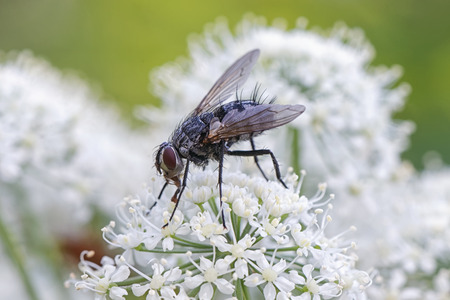 housefly: House fly sitting on a white cow parsley flower. Sweden Stock Photo