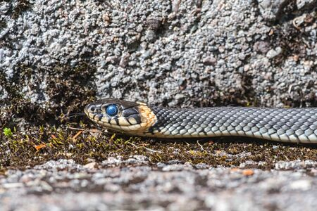 grass snake: Young grass snake that just have shed skin and thats why the eyes have a blue tint. Sweden Stock Photo