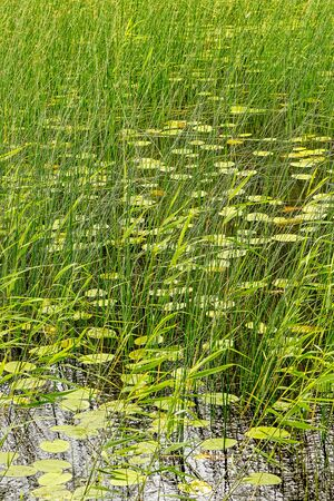 sea weed: Water lily in a pond with sea weed. Sweden