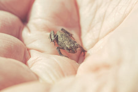 tiny frog: Small young frog in hands of a person during summer. Filters applied Stock Photo