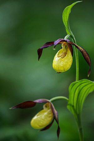 orchideae: One Lady Slipper orchid in focus during early summer, Cypripedium calceolus