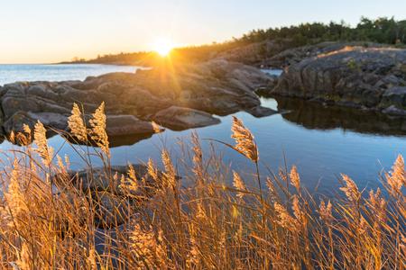 sea grass: Sunrise with warm yellow sea grass at the coastline, Sweden