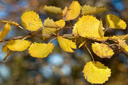 aspen leaf: Branch or twig of Aspen during autumn in yellow color, closeup with nice bokeh