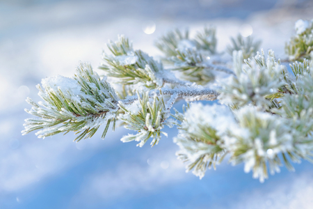 sweden in winter: Frosty snow covered spruce twig during winter and sunlight. Sweden
