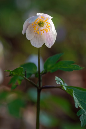 opening up: White wildflower (Anemone nemorosa) during early morning opening up. Sweden