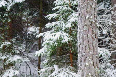 Paisaje de invierno con árboles de hoja perenne cubierto de nieve con escarcha. Suecia