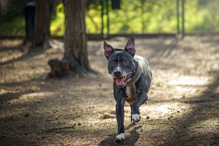 American staffordshire terrier or Amstaff running towards the photographer in a kennel with flapping ears.