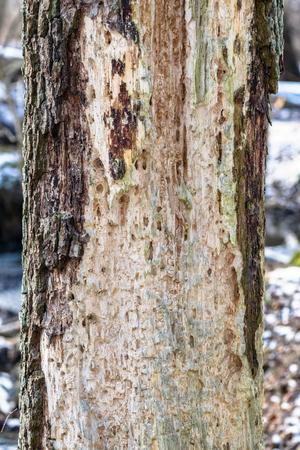 p�jaro carpintero: Resultado de un p�jaro carpintero en busca de comida en un tronco de �rbol. Suecia