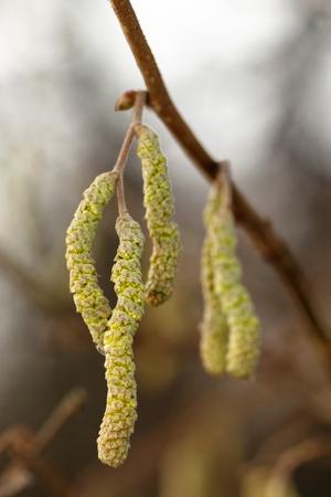 hazel: Catkins of hazel, highly allergenic pollen. Sweden