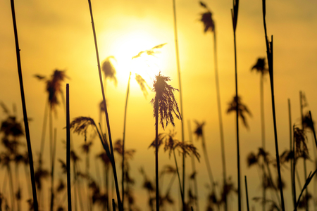 sea grass: Sea grass in yellow backlight during evening. Sweden Stock Photo