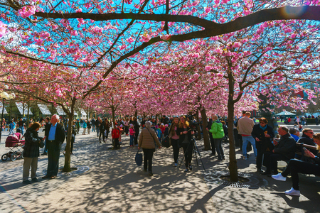 garden city: STOCKHOLM, SWEDEN - APRIL 21, 2016: People enjoying the blooming cherry trees in Kungstradgarden