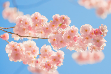 cheery: Vivid pink cheery tree flowers during a sunny spring day agains blue sky. Sweden Editorial