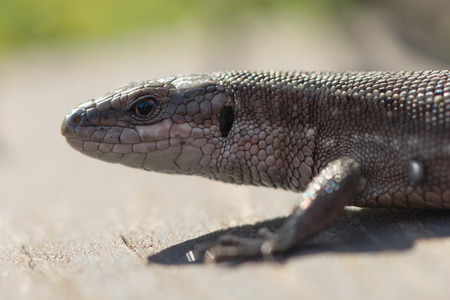 viviparous lizard: Viviparous lizard or common lizard, Zootoca vivipara sunbathing on wooden steps. Sweden
