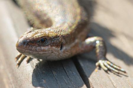 Viviparous lizard or common lizard, Zootoca vivipara sunbathing on wooden steps. Sweden