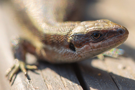vivipara: Viviparous lizard or common lizard, Zootoca vivipara sunbathing on wooden steps. Sweden