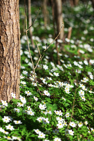 wildwood: White springflowers of Anemone Nemorosa during a sunny day at forest floor during springtime. Sweden