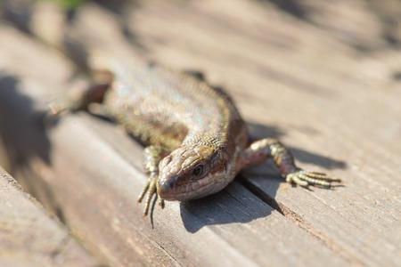 zootoca: Viviparous lizard or common lizard, Zootoca vivipara sunbathing on wooden steps. Sweden