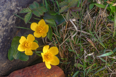 palustris: Caltha palustris known as marsh marigold and kingcup, three flowers between rocks and wet grass. Sweden
