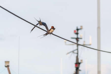 sweden resting: Two swallows on a power line at a harbour during summer. Sweden