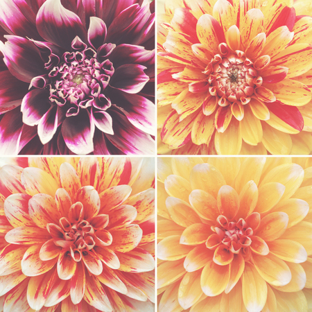 Dhalia flowers in a square colorful collage. Filter applied Stock Photo