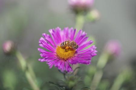 Abeja de polinización de una flor rosada de la margarita. Suecia Foto de archivo
