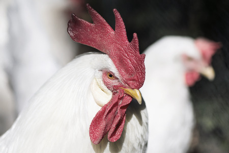 White rooster outside with hens. Sweden Stock Photo